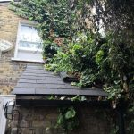 Ivy removal in Southwest London, Putney